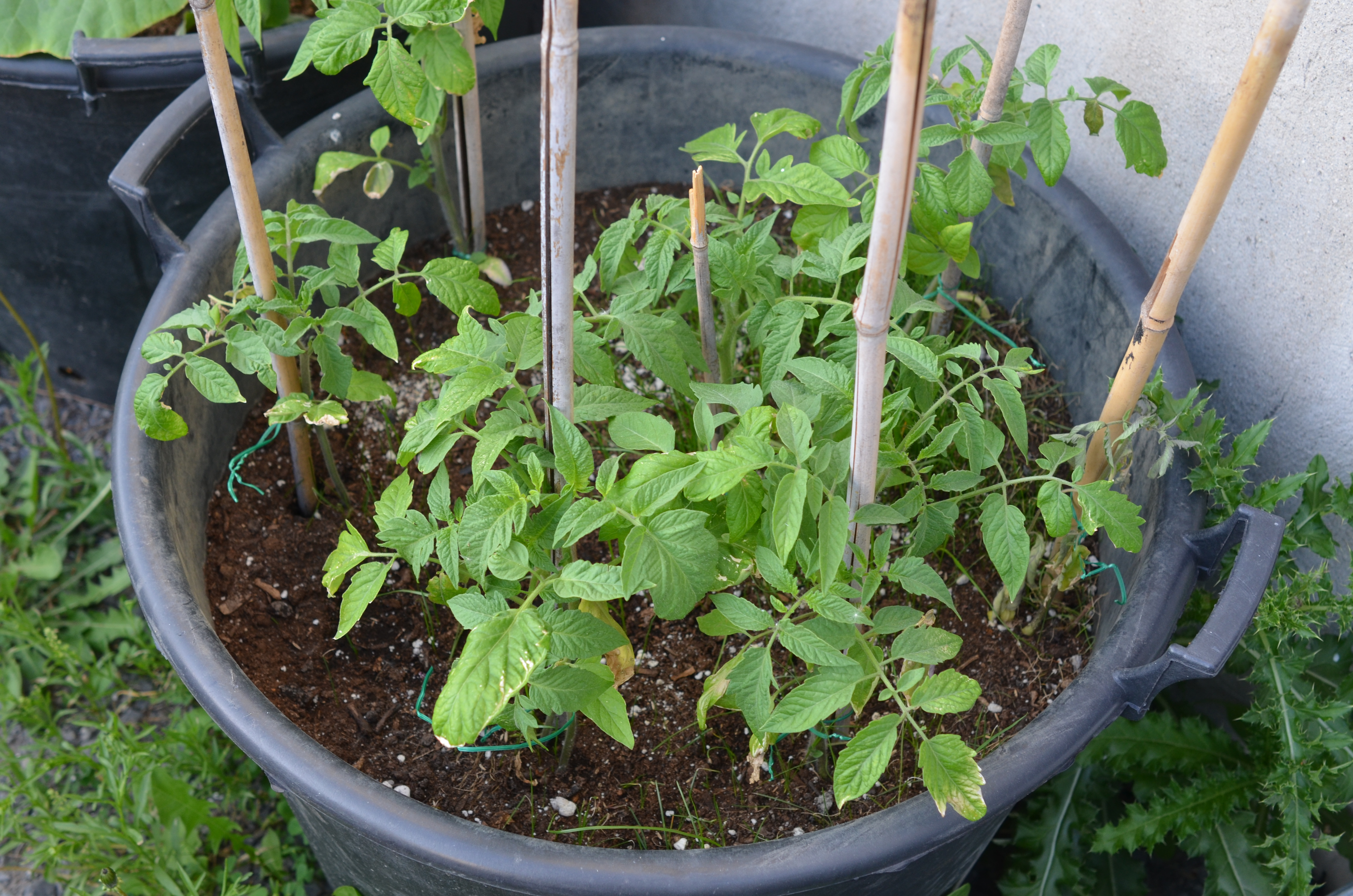 how to grow bush green beans in a container